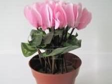 Цикламен розовый 30 см.
